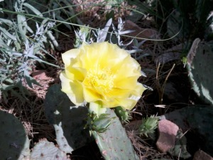 Prickly pear flower in Boulder Colorado's Chautauqua area (photo by Aaron Dalton)