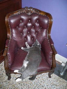 Oreo - resident cat at the Armstrong Hotel - needs a bigger chair (photo by Aaron Dalton)